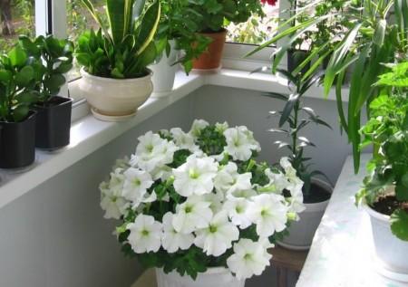 Садовые цветы могут расти и в комнате