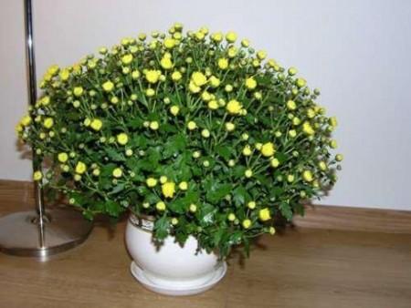 Хризантема в комнате.