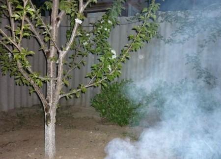 При угрозе заморозков можно использовать дымление.