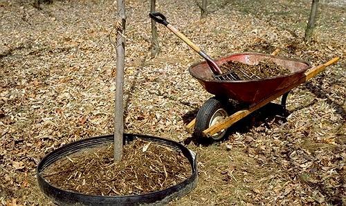 Мульчирование молодых деревьев.