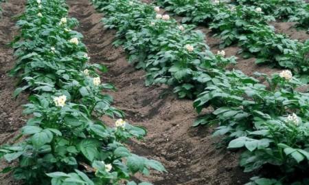 Подкормка картофеля по Лунному календарю