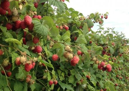 Благоприятные дни для сбора урожая малины.
