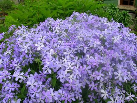 Почвопокровные многолетние цветы для вашего сада