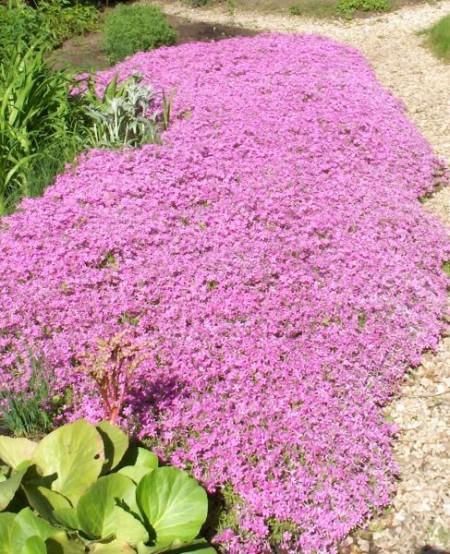 Флокс шиловидный красивоцветущий почвопокровный многолетник.