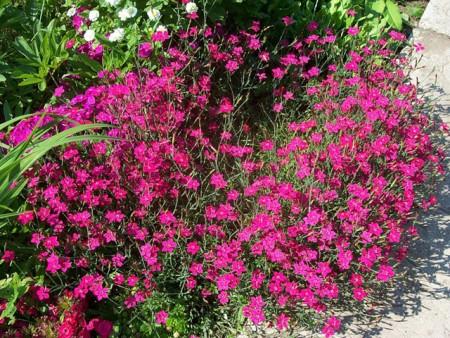Гвоздика травянка в саду