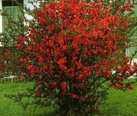 Красочное цветение хеномелеса