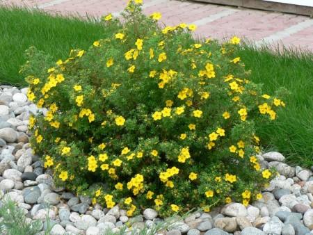 Кустарник с желтыми цветами.