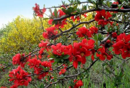 Красочное цветение хеномелеса.