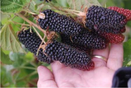 Образцы плодовых кустарников