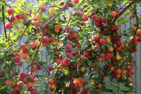 Самоплодный сорт алычи