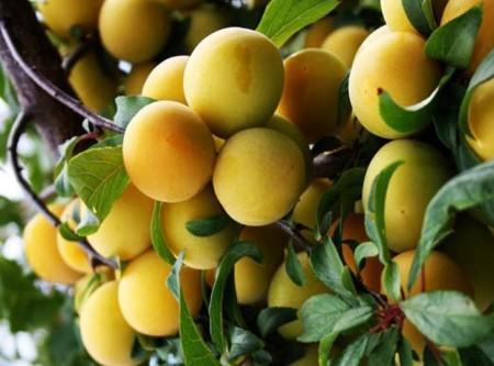 Разновидности плодовых деревьев.
