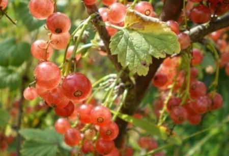 Сортовая смородина Розовый жемчуг