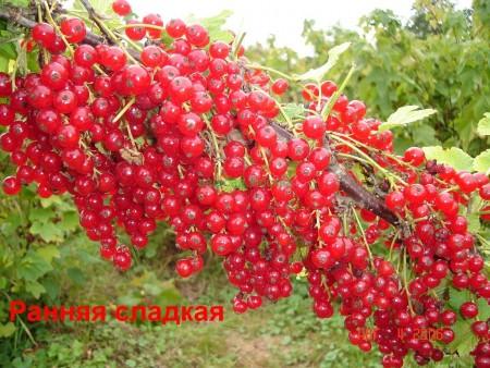 Описание сортов красной смородины