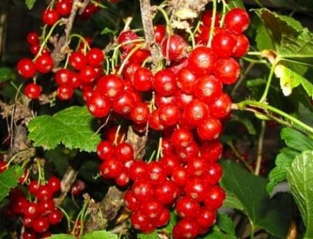 Разновидности северного винограда