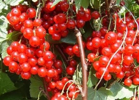 Большие ягоды Каскада.