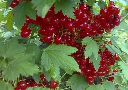 Обзор плодовых кустарников.