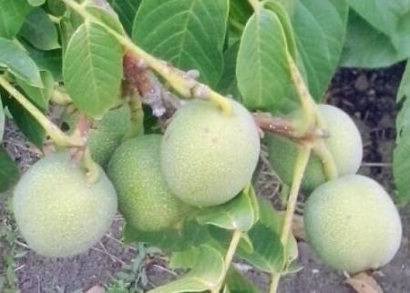 Описание грецких орехов для Подмосковья
