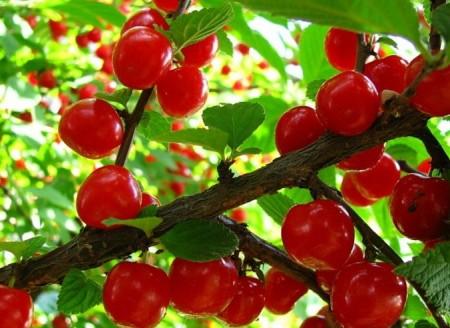 Сорта вишни войлочной.