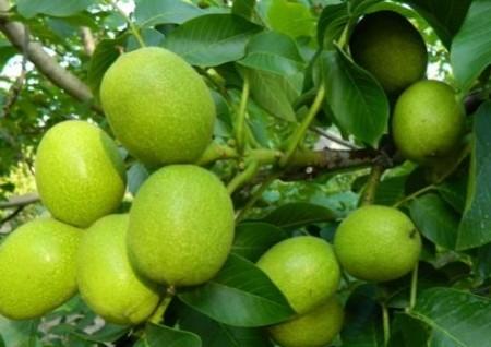 Описание плодов грецких орешков