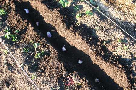 Посадка озимого чеснока, когда надо сажать чеснок осенью