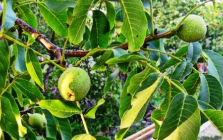 Сорта грецких орехов для Краснодарского края