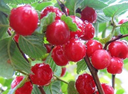 Сорт войлочной вишни Юбилейная.