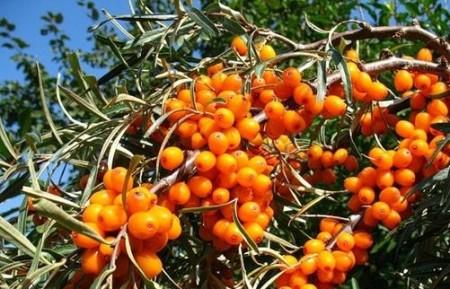 Сортовые разновидности плодовых кустарников