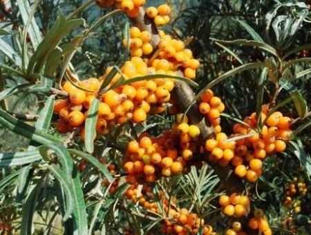 Описание разновидностей садовых растений