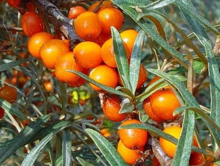 Красивые ягоды Эссель