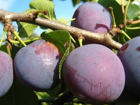 Сливовые плоды на ветви дерева.