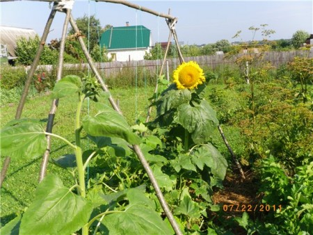 совместное выращивание огурцов и подсолнухов