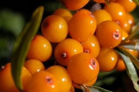 Образец ягод Превосходная