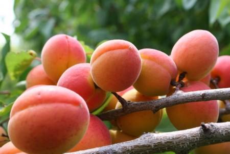 Описание сортов абрикосов