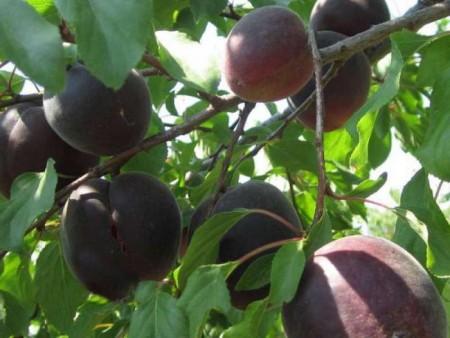Абрикосовое деревце в саду