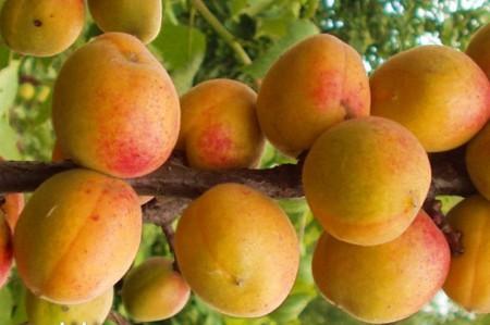 Образец абрикосов Чемпион севера
