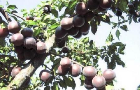 Ветка со спелыми абрикосами.