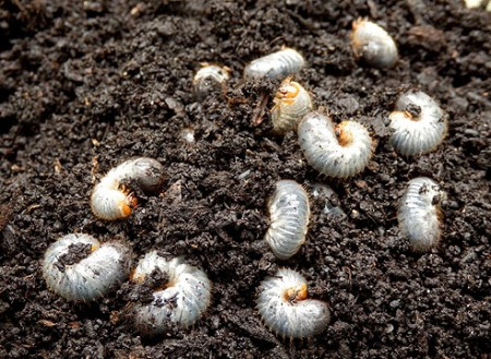 Борьба с личинками майских жуков