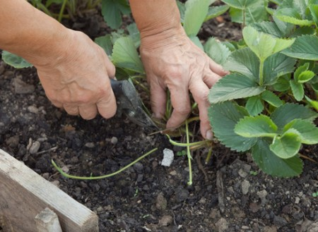 Осенью у растений обрезаются все усы.