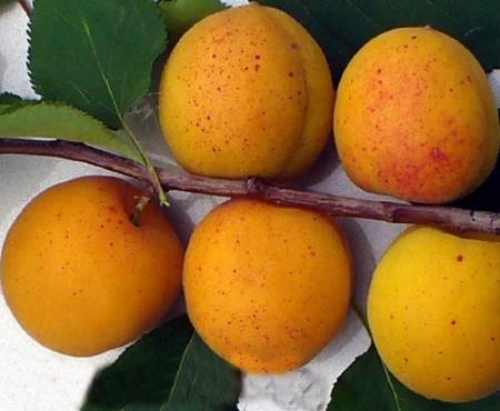 22 лучших сортов абрикоса с описанием и фото