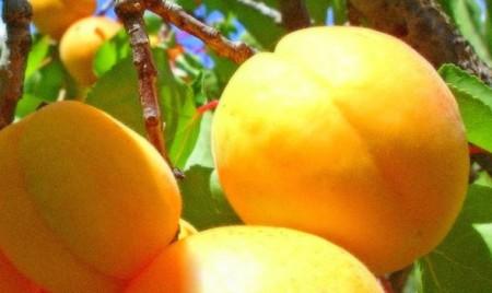 Сорт абрикосов Россиянин