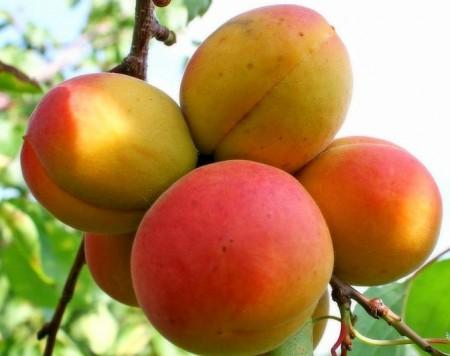 Обзор лучших сортов абрикос.