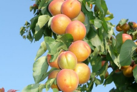 Колоновидные сорта абрикосов.