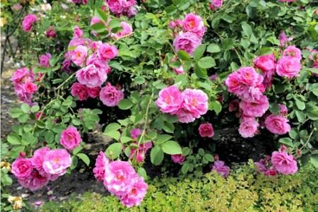 Как вырастить розу из семян