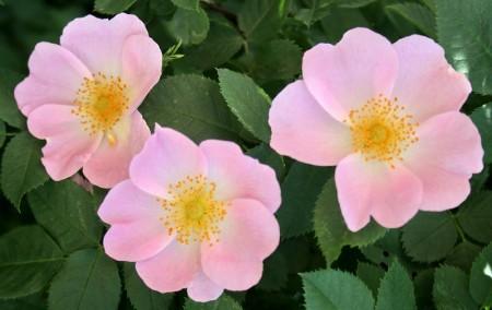 Выращивание розы из семян.