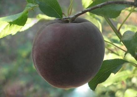 Сорта черных абрикосов
