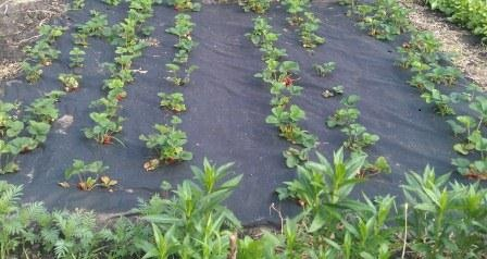 Выращивание клубники на черном материале.