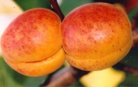 Средние сорта абрикосов