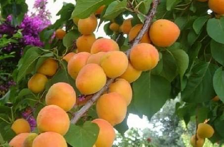 Сочные плоды на ветке