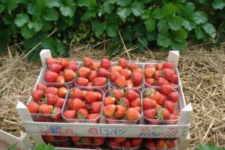 Урожай спелых ягод.