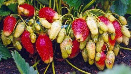 Фото садовой земляники